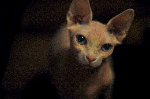 A Hairless Cat!?!