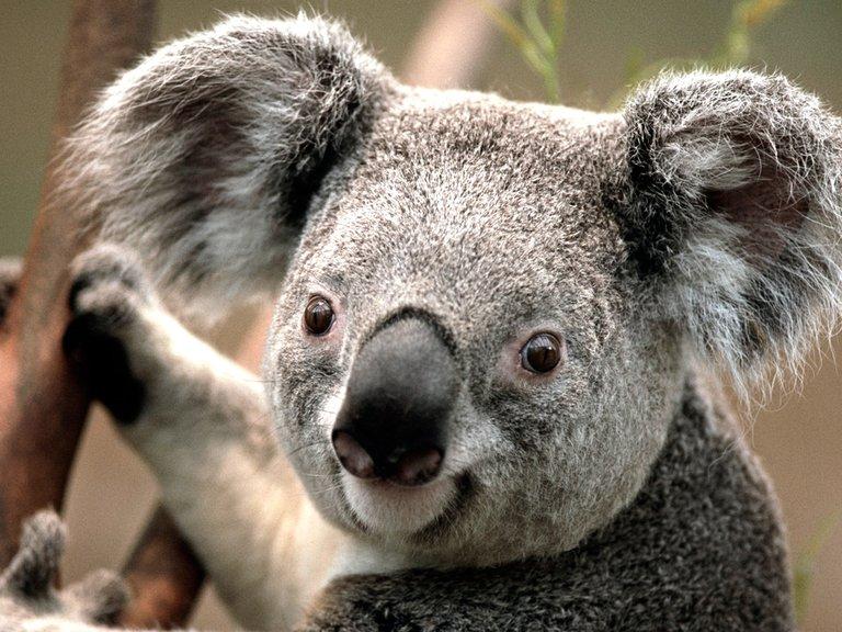 koala kevin