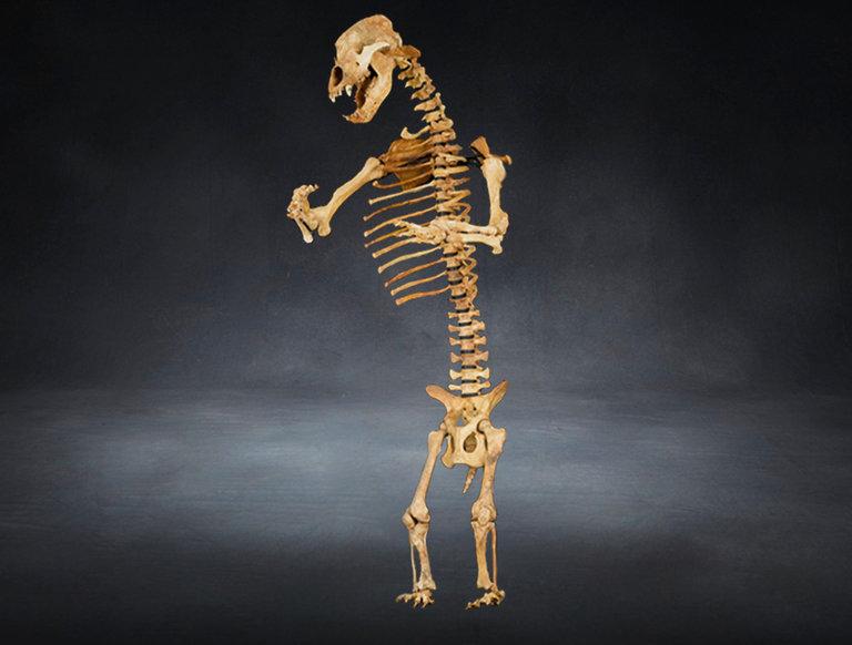Cave Bear Skeleton (circa 150,000 B.C.)