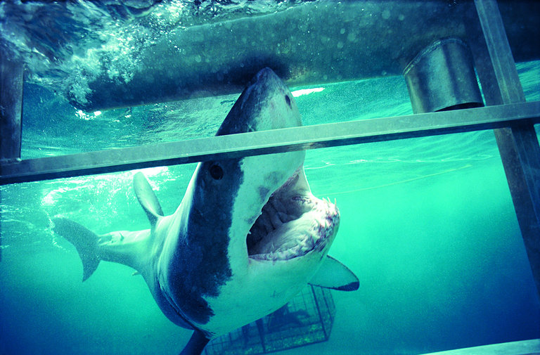 Cage-diving with Great Whites